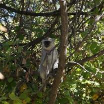 Monkey @ Vic Falls